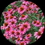 Echinacea2circle