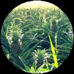 pineappleCircle